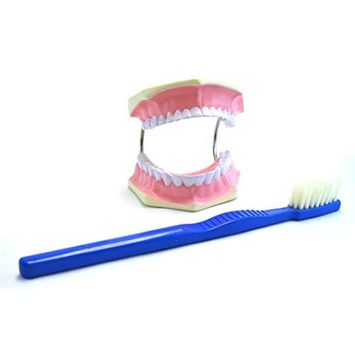 Eisco Labs Giant Dental Care Model, Teeth and Gums with Giant Tooth Brush, 3 Times Life Size
