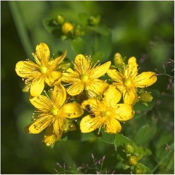 Seed Needs: Herbs 000 Seeds, St. Johns Wort (Hypericum perforatum) Non-GMO Seeds By Seed Needs