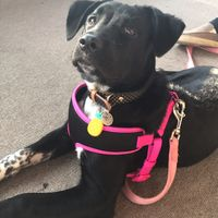 Four Paws Comfort Control Harness uploaded by Tiffany K.
