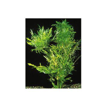Petsmart Water Wisteria size: 8 in, Green