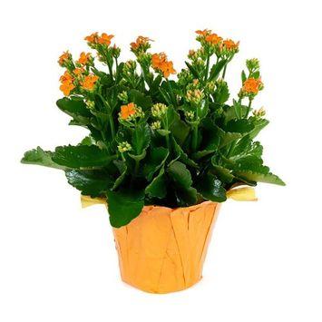 KaBloom Live Plant Collection: 15'' Orange Kalanchoe Plant in a Orange Covered Pot