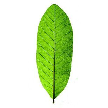 ORGANIC GUAVA Leaves For Tea(50 LEAVES MORE) Omura