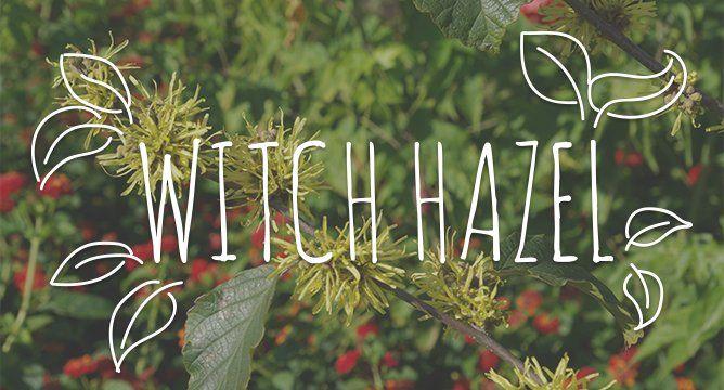 Ingredient Breakdown: Witch Hazel