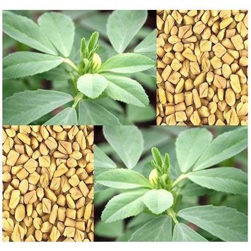 50 x FENUGREEK Herb Seeds - CURRY POWDER DISHES - Trigonella foenum-graecum Seed - Perfect Addition To Herb Garden - 100 -120 Days - By MySeeds.Co