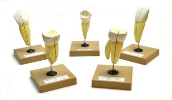 Eisco Labs Human Teeth Models - Set of 5 Different Models