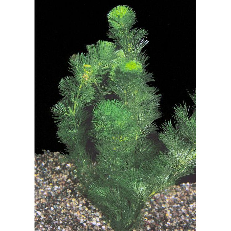 Petsmart Green Cabomba